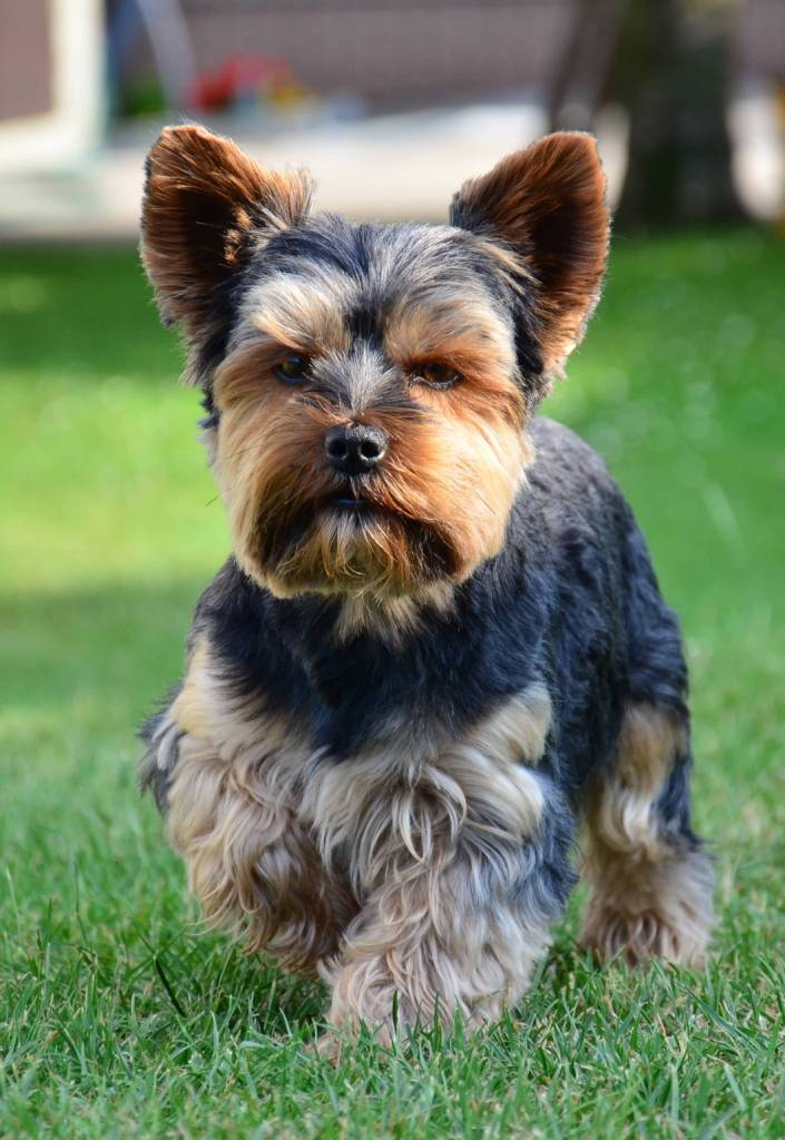 Very Cute Confused Yorkshire Terrier Dog With Beautiful Background