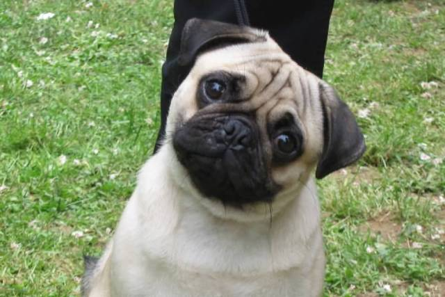 Very Nice Pug Dog Looking At You