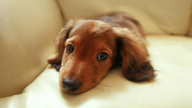 Very Cute Brown Dachshund Dog Sitting On Sofa