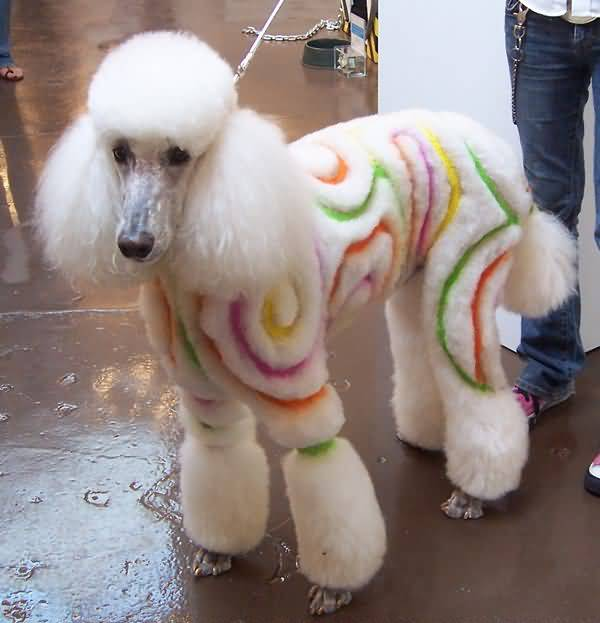 Very Cute Poodle Dog Standing On Floor