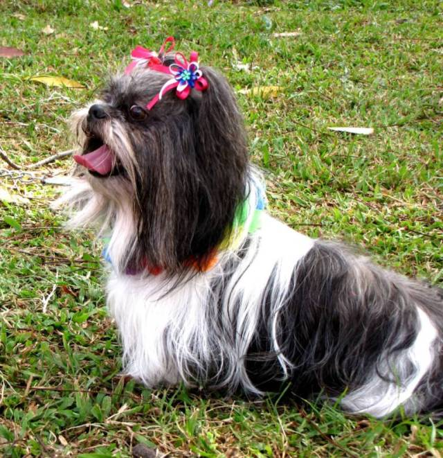 Very Cute Shih Tzu Dog Pup In Park