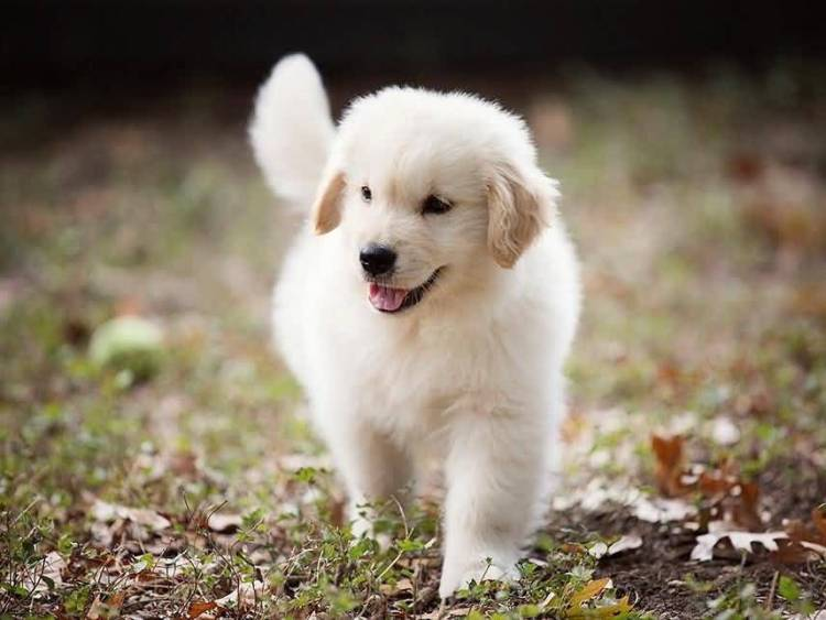 Very Cute White Golden Retriever Baby Dog Running In Garden