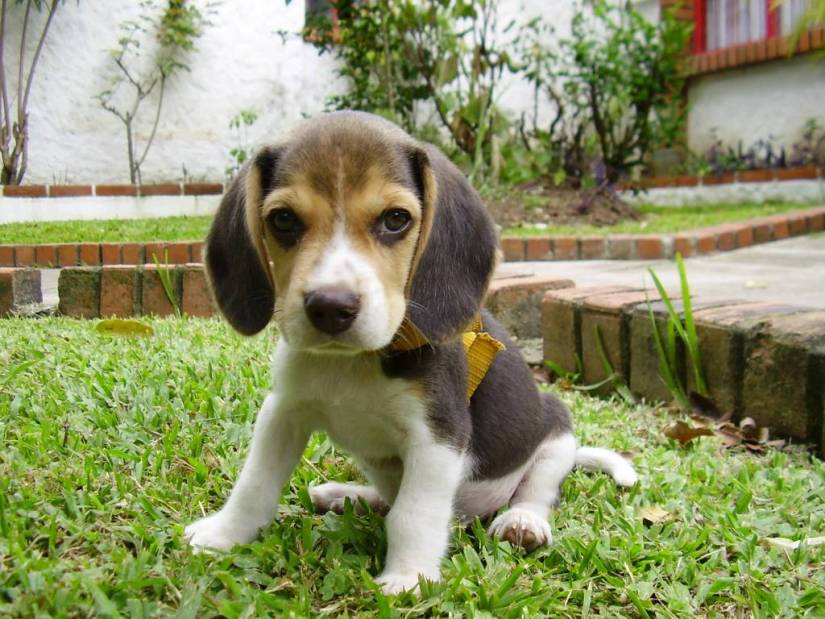 Very Cutest Beagle Dog Baby Puppies Image For Wallpaper