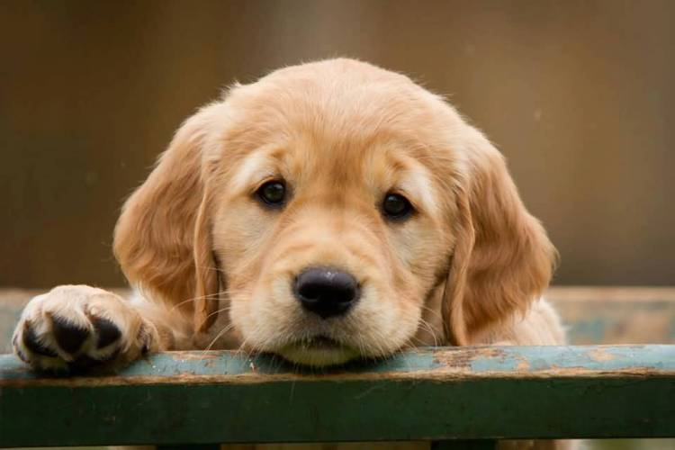 Very Cutest Golden Retriever Baby Dog With Beautiful Background