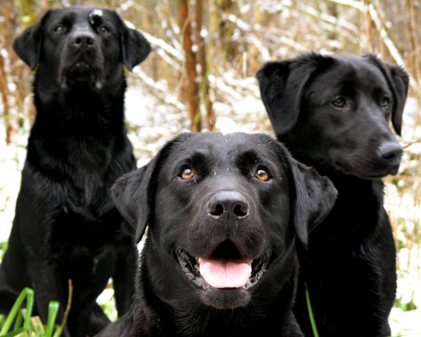 Very Sweet Black Labrador Retriever Dog On Grass