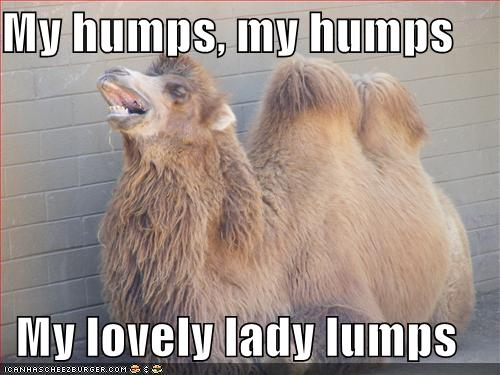 Camel Meme my humps my humps my lovely lady lumps