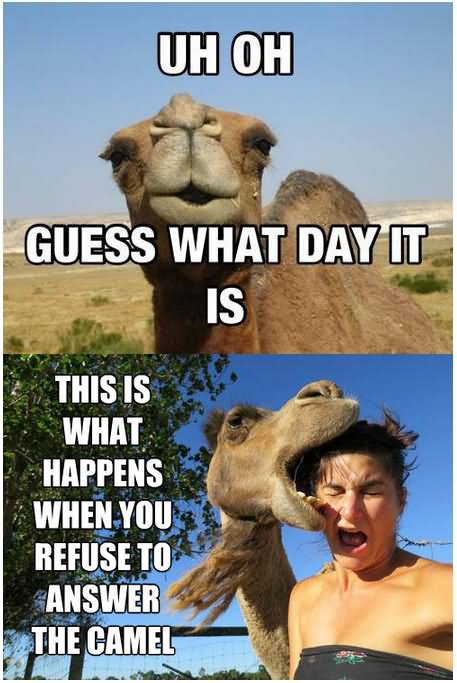 Camel Meme uh oh guess what day it is