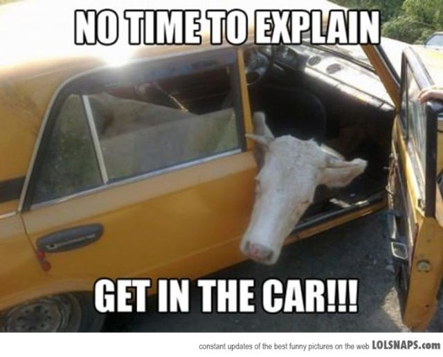 Cow Meme No time to explain get in the car
