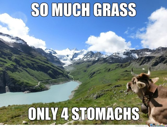 Cow Meme so much grass only 4 stomachs