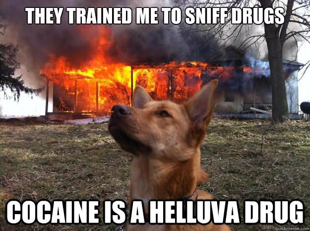 Drugs Meme they trained me to sniff drugs cocaine is a helluva drug