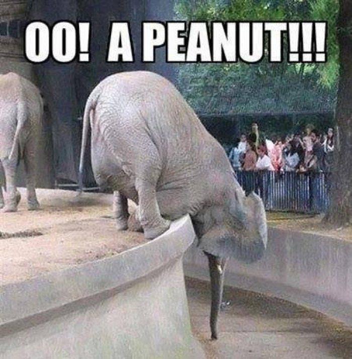 Elephant Meme oo a peanut