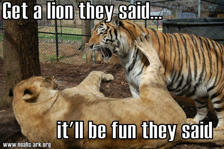 Get a lion they said it'll be fun they Lion Memes