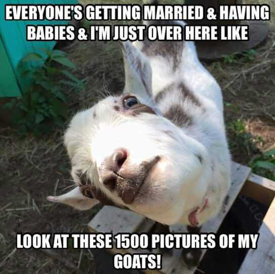 Goat Memes Everyone's getting married having babies im just over here like look