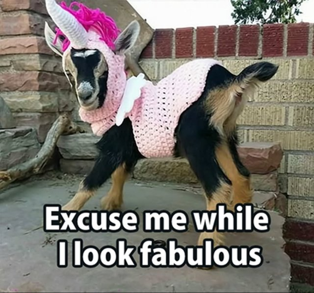 Goat Memes Excuse me while i look fabulous