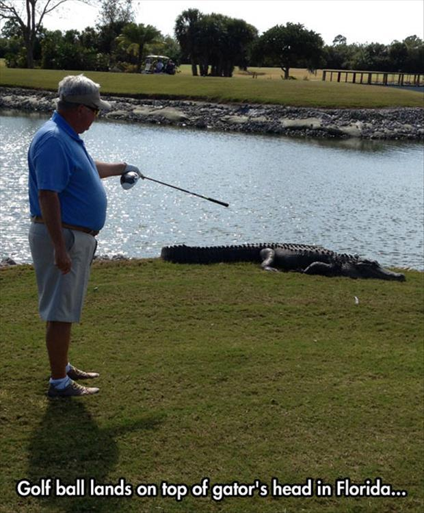 Golf ball lands on top of gator Golf Meme