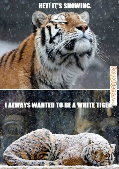 Tiger Meme Hey it's snowing i always wanted to be a white tiger