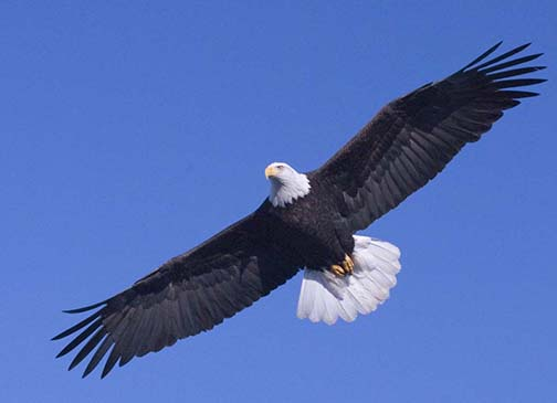 American Eagle Day Eagle Wallpaper