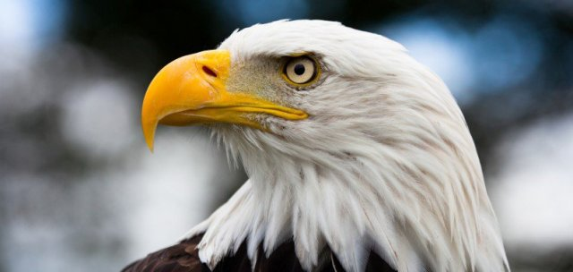 National American Eagle Day Hd Wallpaper