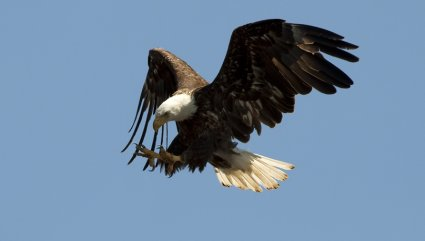 Wishing You Happy American Eagle Day Flying Egale Wallpaper