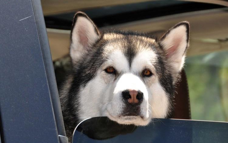 Alaskan Malamute Dog Seen From The Car Window