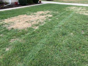 Dormant Bermuda In Fescue   PPLM   (804)530-2540   Green Lawns In VA