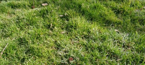 Poa Annua And Trivialis | PPLM | (804)530-2540 | Green Lawns In VA