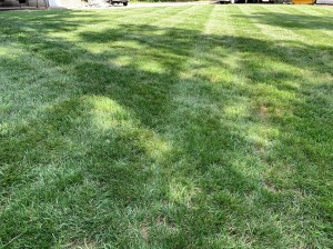 A lawn with the best turf grass seed