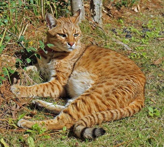 F1 Safari Cat Sabini