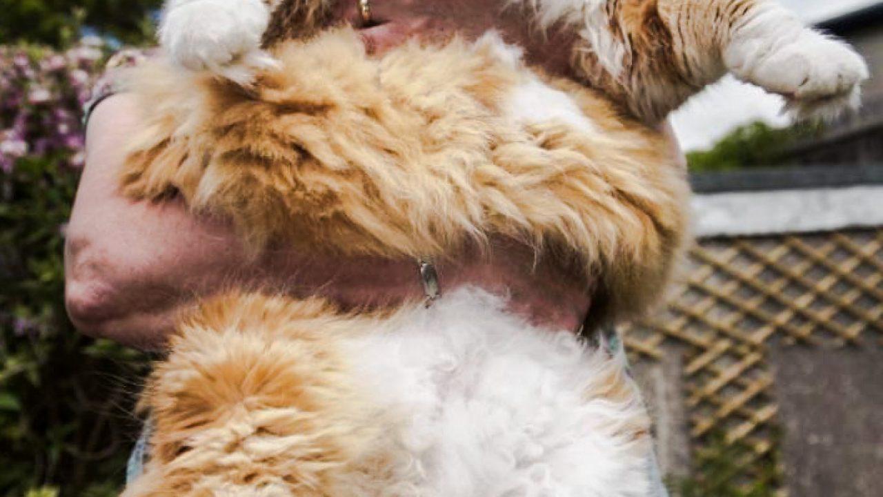 huge norwegian forest cat