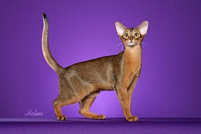 https://i0.wp.com/pictures-of-cats.org/wp-content/uploads/images/abyssinian-cat-5.jpg