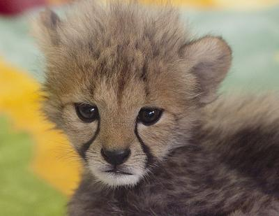 Baby Cat Cute Live Wallpaper Cheetah Semen Is Much Worse Than Domestic Cat Semen Poc