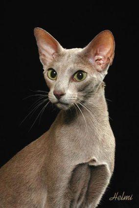 Oriental Shorthair Cat  Poc