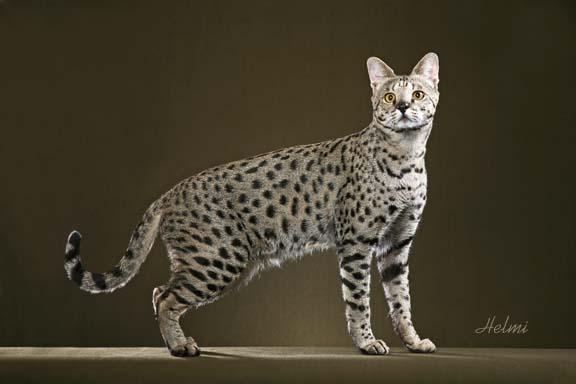 Savannah Cat Motzi 2