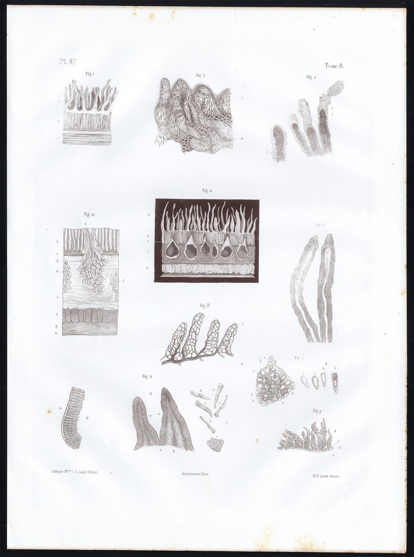 Antique Anatomy Print Microscope Intestinal Villi