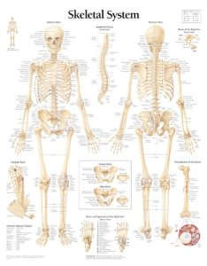 The skeletal system chart also human anatomy wall abebooks rh