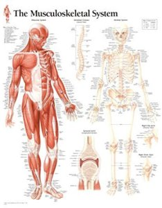 Musculoskeletal system chart wall also human anatomy abebooks rh