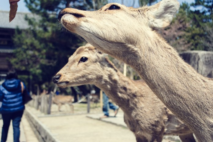 deer-in-nara-japan
