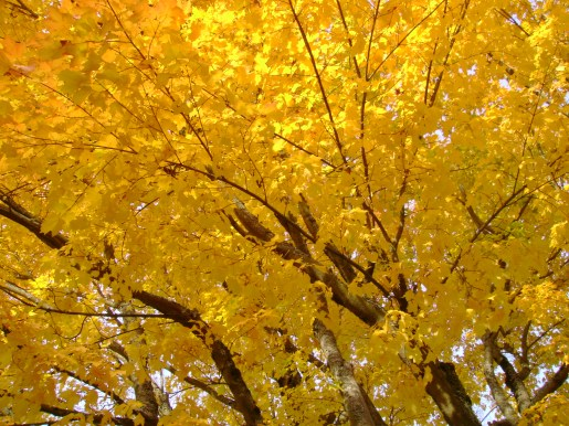 LEAVES bright yellow