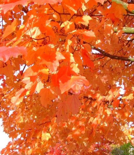leaves orange in sun