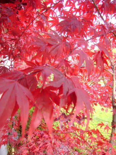 leaves red13