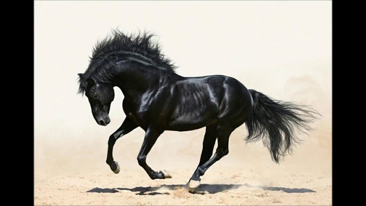 خيول عربية شاهد اجمل صور الخيل العربي الاصيل عيون الرومانسية