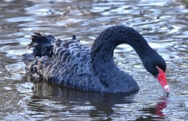 black swan 11-14-2018 10-34-24 AM
