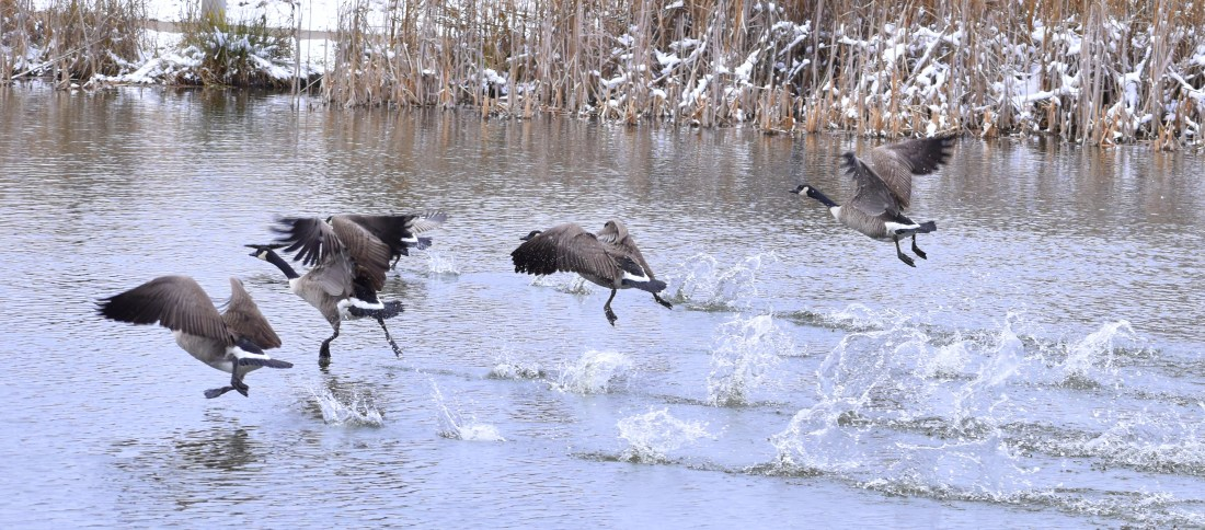 geese 11-13-2018 3-17-50 PM