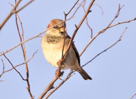 house sparrow 11-11-2018 8-31-44 AM