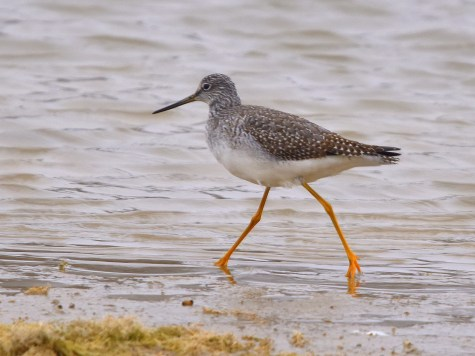 lesser yellow legs 11-7-2018 2-35-37 PM