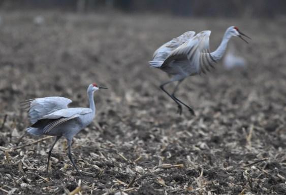 sandhill cranes 11-7-2018 4-22-17 PM
