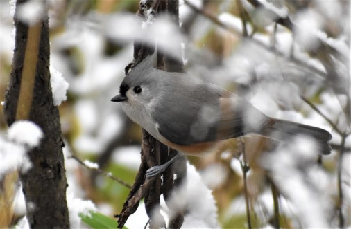 tufted titmouse 11-9-2018 9-11-37 AM