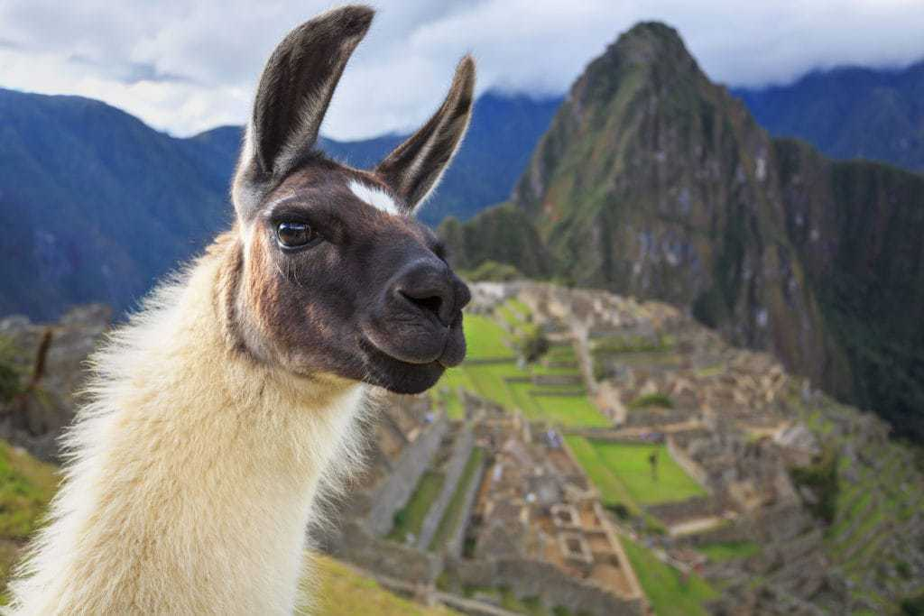 Inca Jungle Trail - Happy llama at Machu Picchu.
