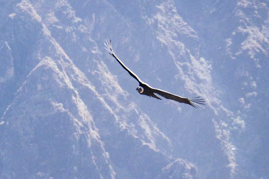 Homestay tours in Colca Canyon - Andean condor.