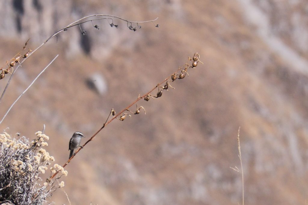 Colca Canyon trek - Little bird on a branch.